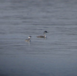 Western and Horned Grebes