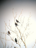 Brewer's Blackbird, Eagleville, Rutherford Co.