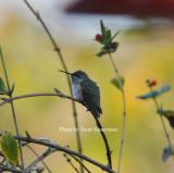 Calliope Hummingbird, Nashville, Davidson Co., TN, 21 Dec 12