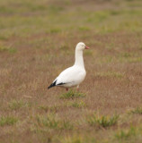 Ross's Goose,