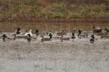 Ross's Goose (left), American Black Duck (right)