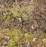 Ash-throated Flycatcher, Meeman-Shelby Forest, 3 Jan 13