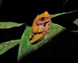 Variable Clown Treefrog