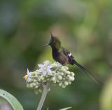 ECUADOR: Hummingbirds