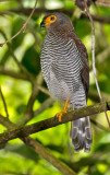 Barred-Forest-Falcon-Canopy-Adventure-Panama-14-March-2013-Edited-IMG_6024.jpg