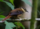 Buffly-Tuftedcheek-Los-Quetzales-Trail-Volcan-Baru-NP-Panama-10-March-2013-Edited-IMG_2693.jpg