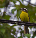 Golden-bellied-Flycatcher-Fortuna-Rd-Panama-11-March-2013-Edited-IMG_4256.jpg