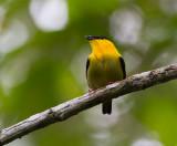 Golden-collared-Manakin-male-Bayano-Panama-16-March-2013-Edited-IMG_8040.jpg