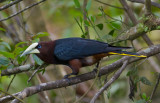 Chestnut-headed-Oropendola-Canopy-Lodge-Panama-14-March-2013-Edited-IMG_6599.jpg