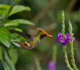 Rufous-crested-Coquette-male-Canopy-Lodge-Panama-Edited-14-March-2013-IMG_6164.jpg
