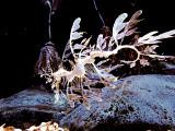 Hippocampe feuillu