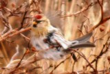 Common Redpoll (imm.)