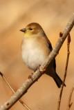American Goldfinch (basic male)