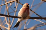Common Redpoll (adult male)