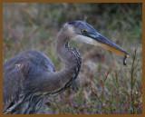 great blue heron-10-17-12-963b.JPG