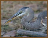 great blue heron-10-24-12-544b.JPG