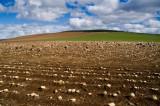 21st April 2013  sheep eating turnips