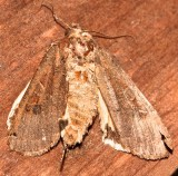 11003.1, Noctua pronuba, Large Yellow Underwing
