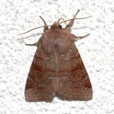 10491, Orthodes alurina, Gray Quaker