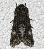 10021, Copivalaria grotei, Grote's Sallow