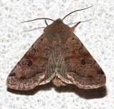10495, Orthosia hibisci
