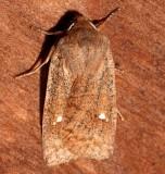 9933, Eupsilia vinulenta ,Straigh-toothed Sallow