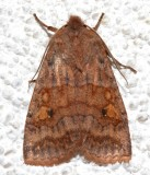 9935, Eupsilia tristigmata, Three-spotted Sallow