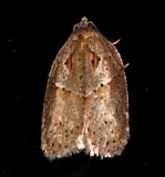 3543, Acleris maculidorsana, Stained-back Leafroller