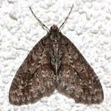 7637, Cladara limitaria, Mottled Gray Carpet Moth