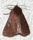 10994, Cerastis tenebrifera, Reddish Speclked Dart