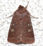 10994, Cerastris tenebrifera, Reddish Speckled Dart