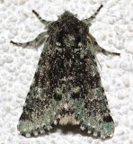10007, Feralia major, Major Sallow