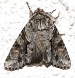 10518, Achatia distincta, Distinct Quaker
