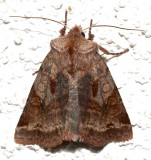 10996, Cerastis salicarum, Willow Dart