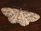 6597, Ectropis crepuscularia, Small Engrailed
