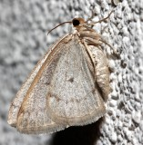 6668, Lomographa glomeraria, Gray Spring Moth