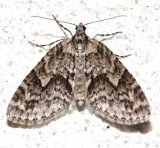 7637, Cladara limitaria, Mottled Gray Carpet
