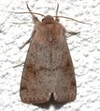 10491, Orthosia alurina, Gray Quaker