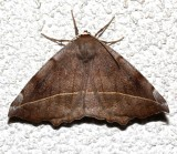 6966, Eutrapela clementaria, Curve-toothed Geometer