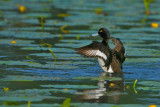 Gallery Tufted Duck
