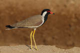 Gallery Red-wattled Plover