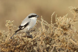 Asian Grey Shrike (Lanius lahtora ssp. Aucheri)