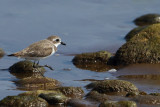 Gallery Greater Sand Plover