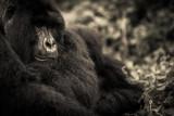 gorila 1_.jpg