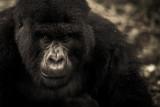 gorilla 5.jpg