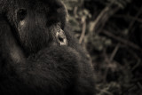gorilla 6.jpg