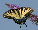 Tiger Swallowtail (female 2006)