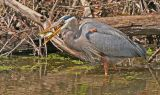 Great Blue Heron catching
