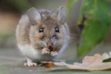 Wood Mouse / Mindre skogsmus