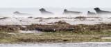 Harbour Seal / Knubbsäl
